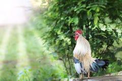 Le coq blanc rappelle début de la matinée dans le jardin Images stock