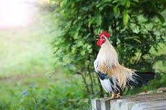 Le coq blanc rappelle début de la matinée dans le jardin Photos libres de droits