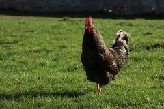 Le coq de Brown marche dans un domaine d'herbe photo stock