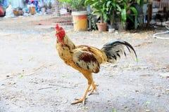 Le coq de combat de poulet Photo libre de droits