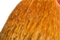 Le coq de fond fait varier le pas de belles plumes lumineuses Image libre de droits