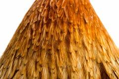 Le coq de fond fait varier le pas de belles plumes lumineuses Images libres de droits