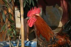 Le coq est beau Coq très sérieux photos stock