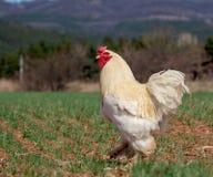 Le coq fier marche par le champ, campagne photo libre de droits