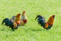 Le coq nain barbu coloré dans un pâturage a coloré le coq nain barbu dans a Images stock