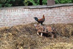 Le coq rencontre le jeune porc Photo libre de droits
