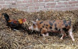 Le coq rencontre 2 porcins Image libre de droits