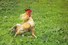 Le coq rouge fonctionne à travers l'herbe développant de belles plumes Images stock