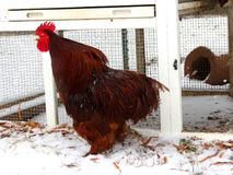 Le coq rouge rappelle pour tous pour entendre photographie stock libre de droits