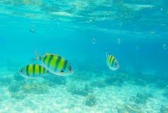 Le corail de Dascillus pêche le plan rapproché Paysage sous-marin avec l'école des poissons de dascillus Image libre de droits