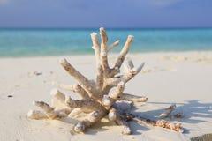 Le corail a trouvé sur la plage d'Ukulhas, Maldives Photographie stock libre de droits