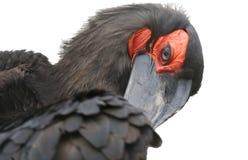 Le corbeau à cornes de Kafrsky là-dessus est blanc un fond Photo stock