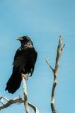 Le corbeau noir Photographie stock libre de droits