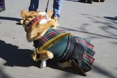 Le corgi poursuit à la célébration de jour du ` s de St Patrick à Moscou Image libre de droits