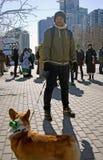 Le corgi poursuit à la célébration de jour du ` s de St Patrick à Moscou Photos libres de droits