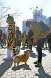 Le corgi poursuit à la célébration de jour du ` s de St Patrick à Moscou Photo libre de droits
