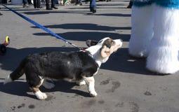 Le corgi poursuit à la célébration de jour du ` s de St Patrick à Moscou Photographie stock libre de droits