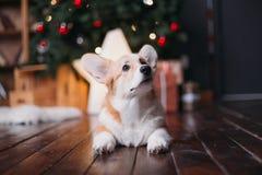Le corgi poursuit avec l'arbre de Joyeux Noël photos stock