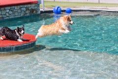 Le corgi sautant dans une piscine Image libre de droits