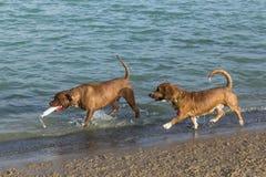 Le corgi se mélange et mélange de pitbull sur un rivage d'étang de parc de chien Photos libres de droits