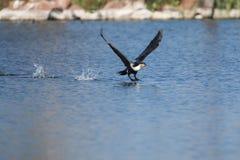 Le cormoran breasted par blanc décollent du barrage pour chasser images libres de droits