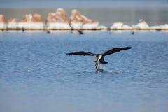 Le cormoran breasted par blanc décollent du barrage pour chasser images stock