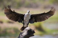 Le cormoran breasted par blanc décollent du barrage pour chasser des poissons photo libre de droits