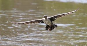 Le cormoran breasted par blanc décollent du barrage pour chasser des poissons images libres de droits