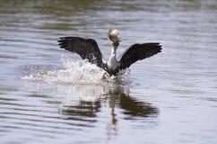 Le cormoran breasted par blanc décollent du barrage pour chasser des poissons Photos stock