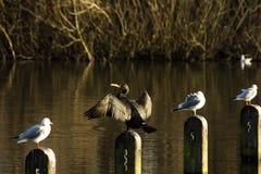 Le cormoran double-crêté Images stock