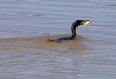 Le cormoran et ses grands poissons Photo libre de droits