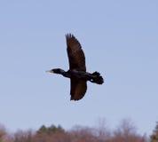 Le cormoran vole Photo libre de droits