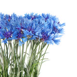 Le Cornflower fleurit le bouquet d'isolement sur le blanc photos stock