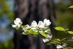 Le cornouiller fleurit II Image libre de droits
