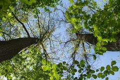 Le corone dell'albero dalla terra fotografia stock libera da diritti