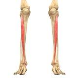 Le corps humain Muscles l'anatomie (antérieurs de Tibialis) illustration stock