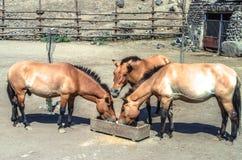 Le corral ouvert avec le cheval brun d'or, qui mâchent la nourriture sèche Photographie stock libre de droits