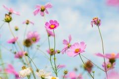 Le cosmos, aster mexicain fleurit contre le ciel bleu Images stock