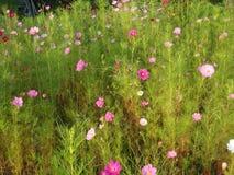 Le cosmos coloré fleurit sur un pré vert en été Photographie stock libre de droits