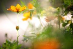 Le cosmos fleurit dans la rétro couleur dans la lumière d'après-midi Photos stock