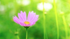 Le cosmos rose et blanc fleurit dans le jardin, belle fleur Photos libres de droits