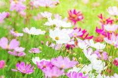 Le cosmos rose et blanc fleurit dans le jardin, belle fleur Photographie stock