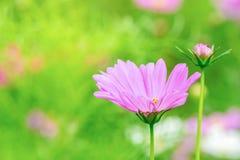 Le cosmos rose et blanc fleurit dans le jardin, belle fleur Photo libre de droits