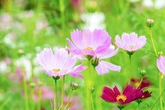 Le cosmos rose et blanc fleurit dans le jardin, belle fleur Image stock