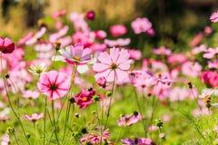 Le cosmos rose fleurit contre le ciel bleu lumineux Photographie stock libre de droits