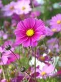 Le cosmos rose vif de floraison ou l'aster mexicain fleurit avec ses bourgeons, fond brouillé photographie stock
