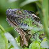 Le Costa Rica leguaan vert Photographie stock