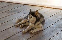 Le costaud sibérien, costaud sibérien de race de chien se tapissent des repos sur le plancher en bois photo libre de droits
