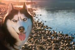 Le costaud sibérien positif de portrait aime la vie Chien d'utilité affectueux heureux Le chien enroué de sourire regarde l'appar Images libres de droits