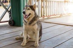 Le costaud sib?rien, costaud sib?rien de race de chien se tapissent des repos sur le plancher en bois photos stock